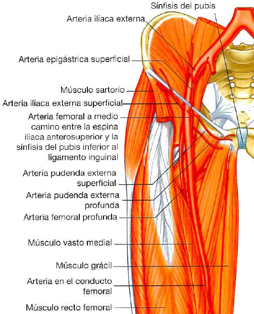 Arteria Femoral profunda   M.I   Pinterest   Femoral