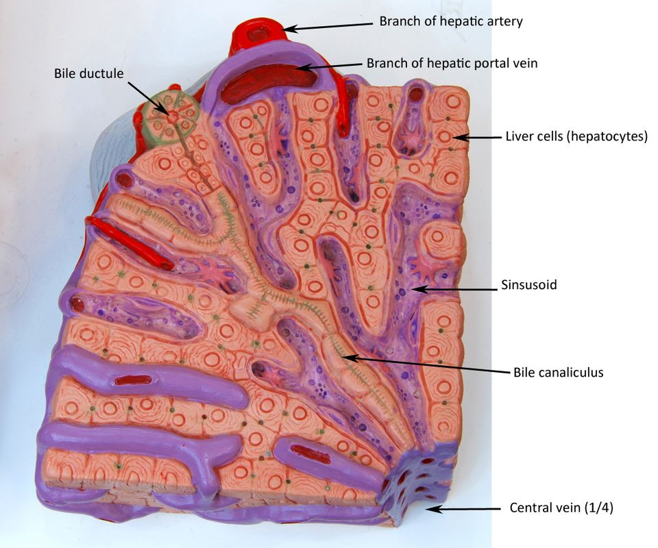 liver lobule model labeled - Google Search | anatomy ...