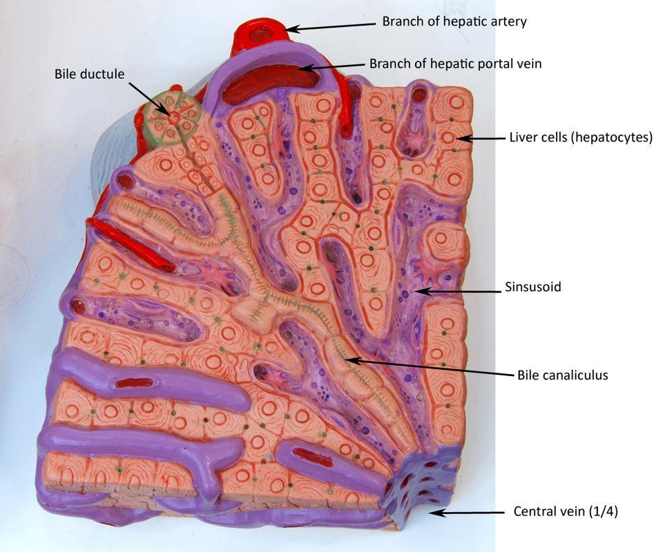 liver lobule model labeled - Google Search   anatomy   Pinterest ...