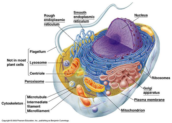 Cytoskeleton anatomy physiology pinterest cell theory and cytoskeleton ccuart Choice Image