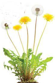 فوائد اعشاب الطرخشون Dandelion
