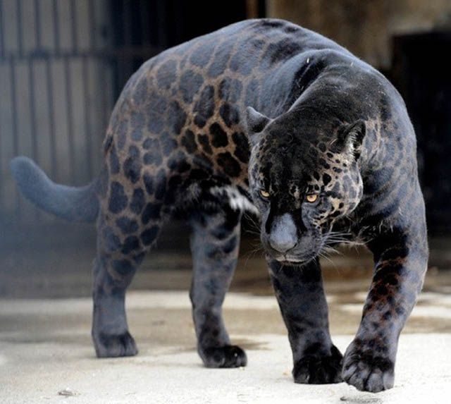 A Black Panther Is Typically A Melanistic Color Variant Of Any Of Several  Species Of Larger Cat. Wild Black Panthers In Latin America Are Black  Jaguars ...