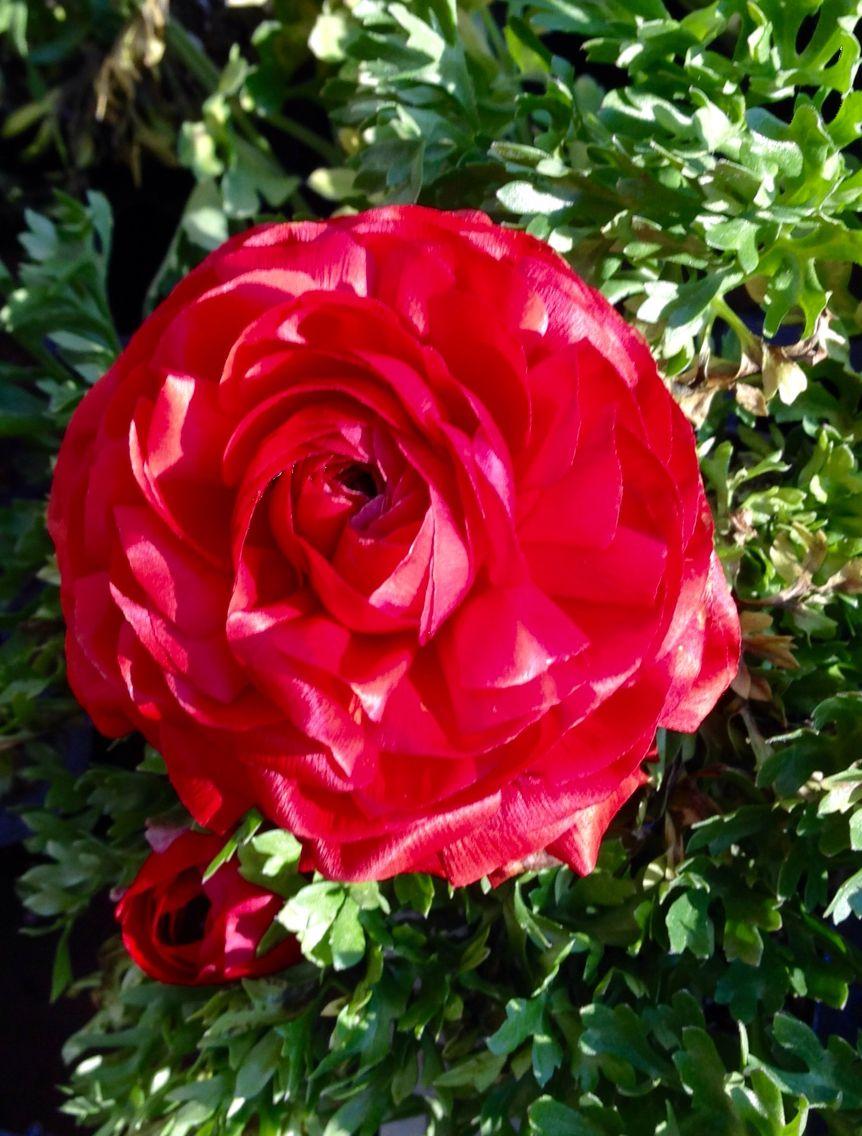 Red ranacula