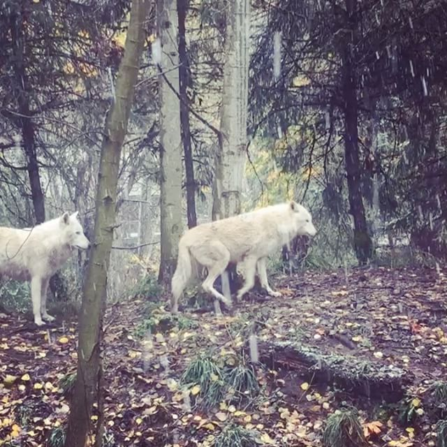 Did You Get Any Snow Yesterday Keeper Jordan Veasley Caught Our Wolf Pack Soaking Up Some Washington Snow Woodland Park Zoo Woodland Park Zoo Keeper