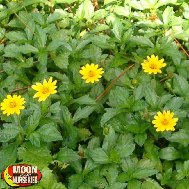 Yellow Dot Wedelia Full Shade Flowers Shade Plants Plants