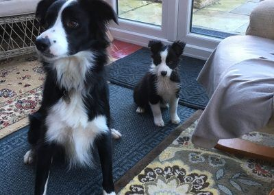 Border Collies Collie Border Collie Border Collie Puppies