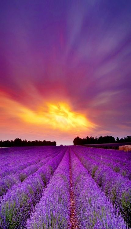 Lavender Field Sunset Atardecer Lavanda Lavender Fields French Lavender Lavender Flowers