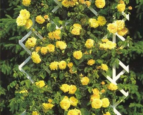Climbing Roses Yellow Pnąca Rose Yellow Rose Yellow