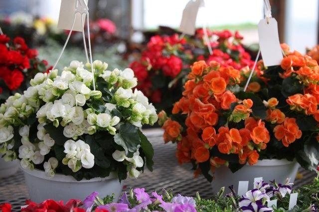 Kwiaty Na Balkon I Taras Begonia Stale Kwitnaca Taras Balkon Begonia Garden Balcony