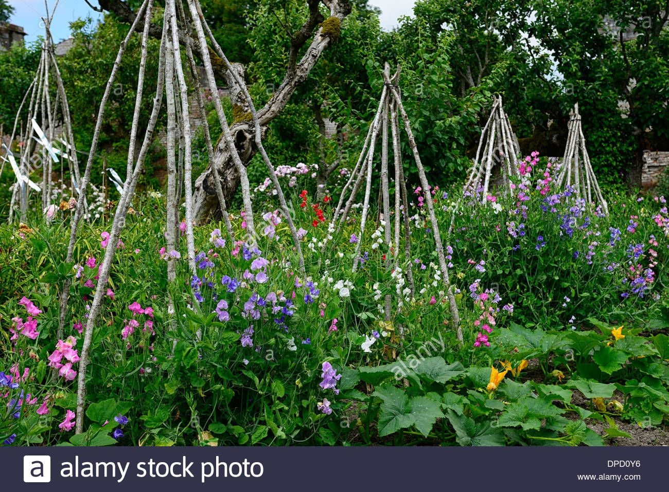 Sweet Peas Pea Grow Growing Up Wigwam Plant Supports Frame Frames
