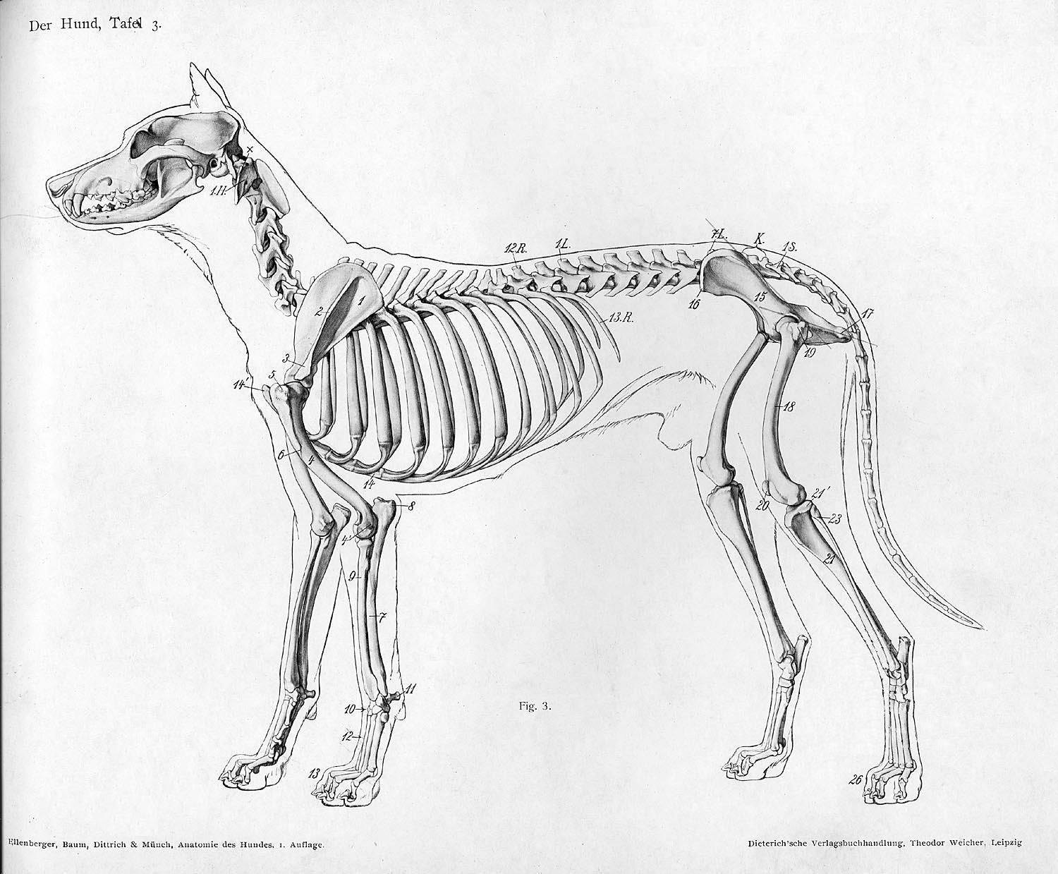 Dog_anatomy_lateral_skeleton_view.jpg Art for the bedroom need ...