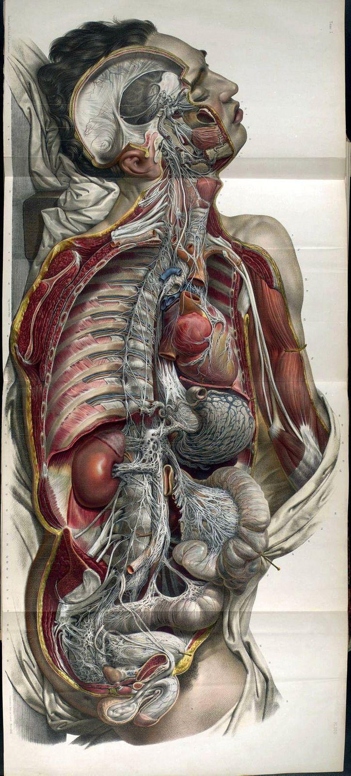 Anatomy Illustrations 1800s | Pinterest