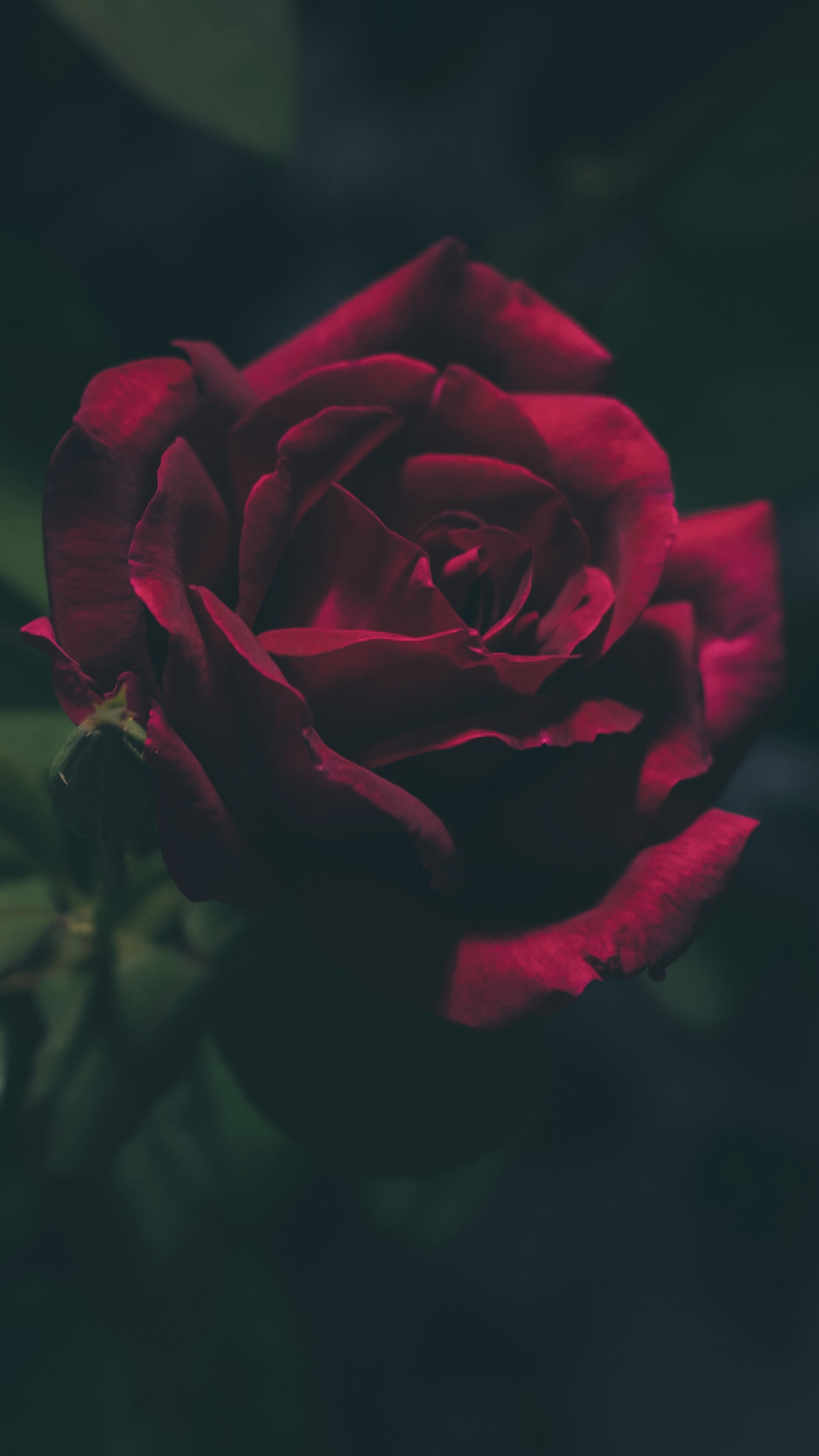Beautiful Pictures By Amooni In 2020 Red Roses Wallpaper