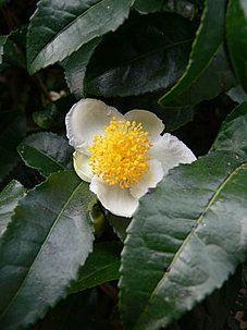 Le thé de Corée- Le blog de bi-rain