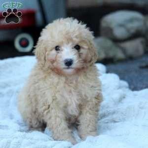 Mini Bernedoodle Puppies For Sale Bernedoodle Puppy Mini