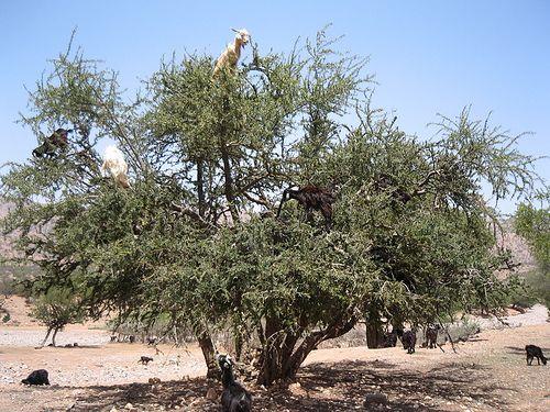 Marocco -    le capre si arrampicano e mangiano le noci dell'albero di argan; il nocciolo cade, viene raccolto e con esso si produce il costoso olio utizzato i...