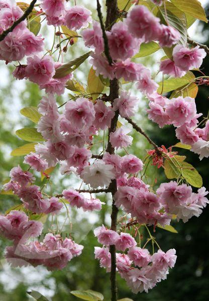 Prunus Kiku Shidare Zakura Cheal S Weeping Cherry Weeping Cherry Tree Flowering Cherry Tree Fruit Trees Backyard