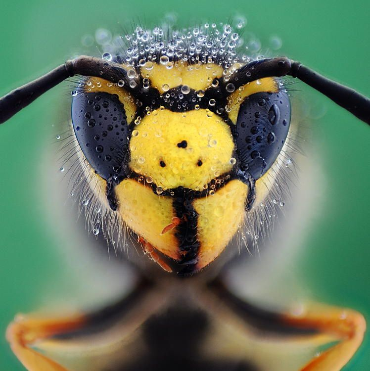Wasp by Soheil Shahbazi on 500px