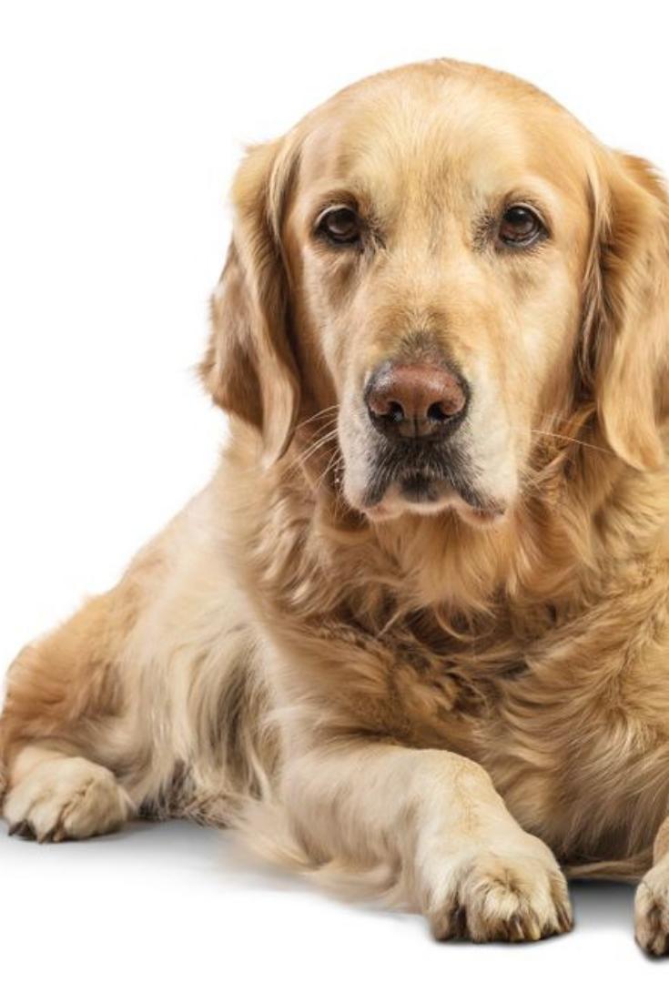 Beautiful Golden Retriever Model White Background Goldenretriever Golden Retriever Retriever Dogs