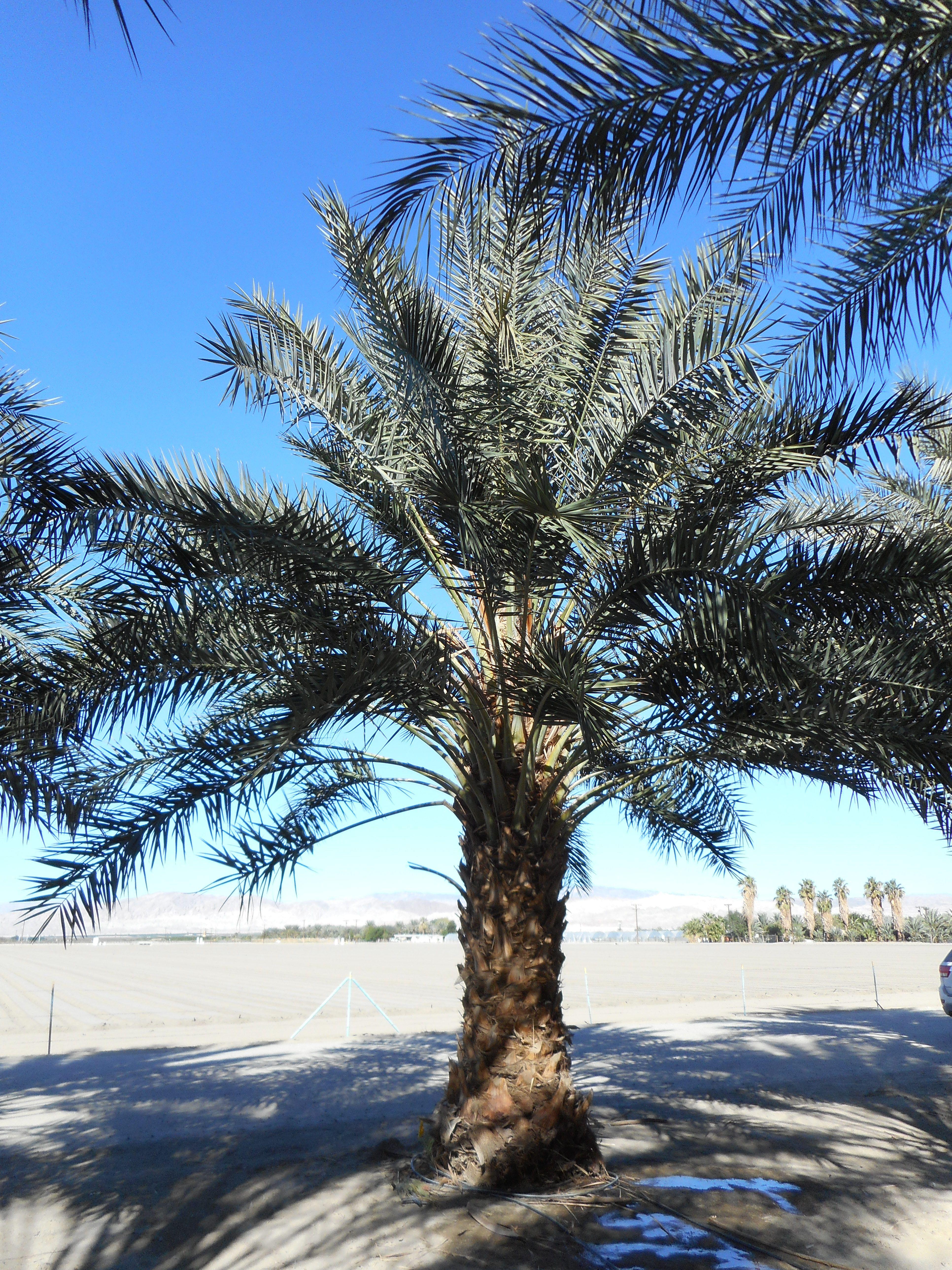 Phoenix Dactylifera The True Date Palm