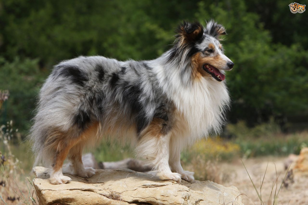 Pin By Tina Sher On Collies Shelties