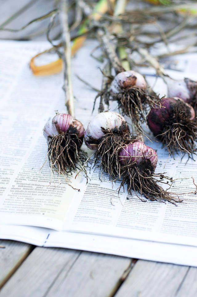Kasvata itse valkosipulit - katso ohjeet! | Kotivinkki