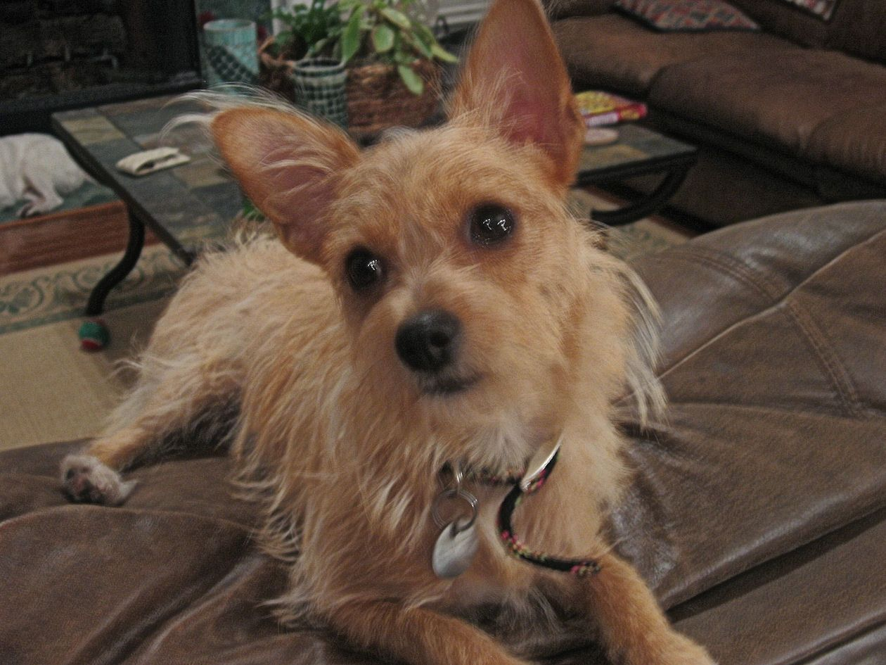 Maizy Maybe Chihuahua Wire Haired Terrier Mix Looks Like