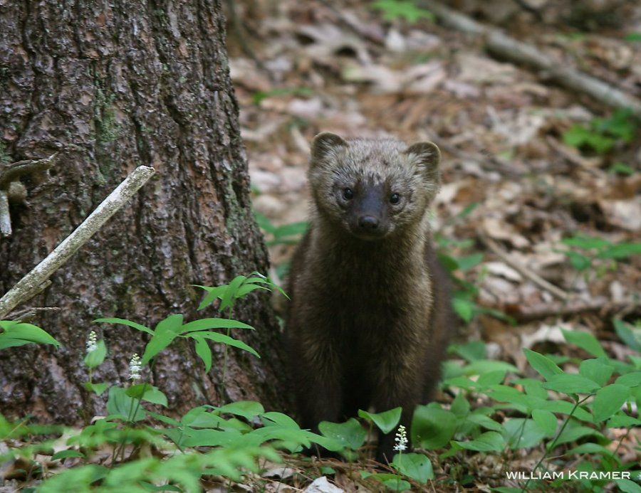 Another fisher cat, because this one is unbelievably cute