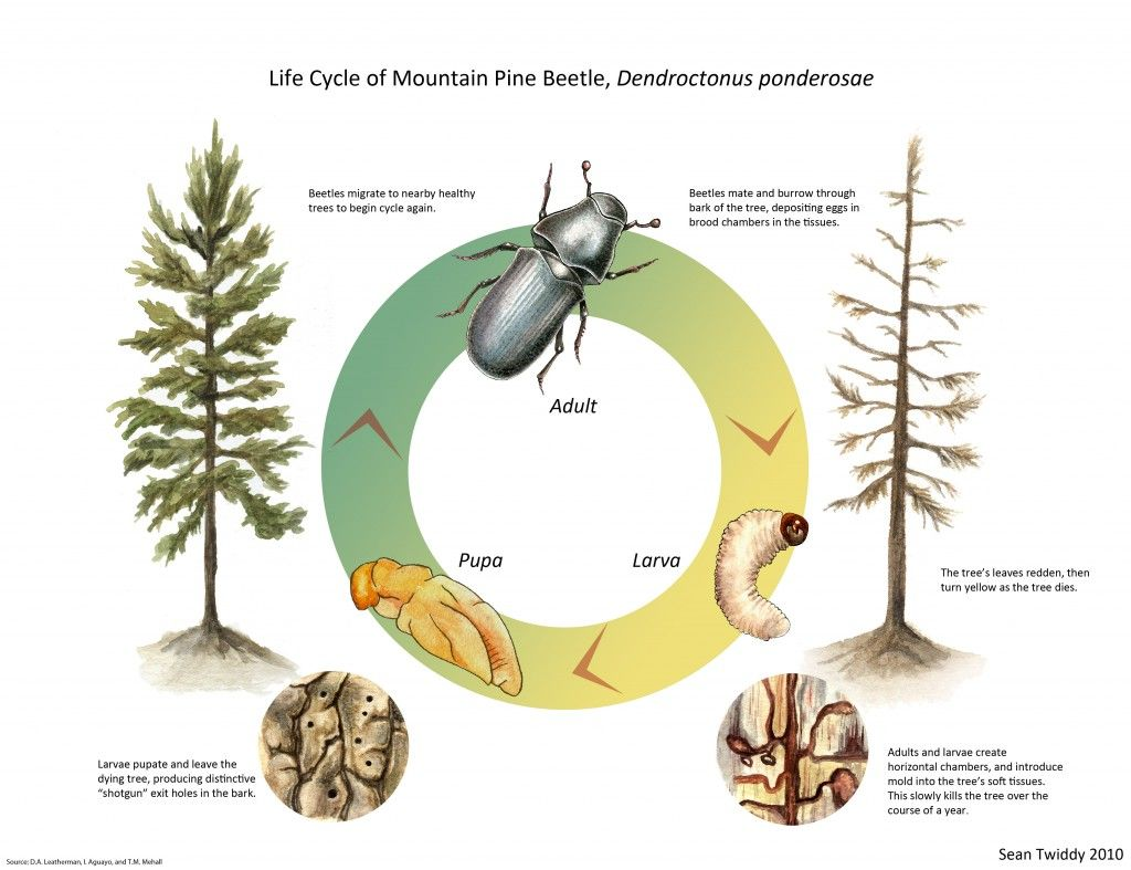 Life Cycle Of A Beetle