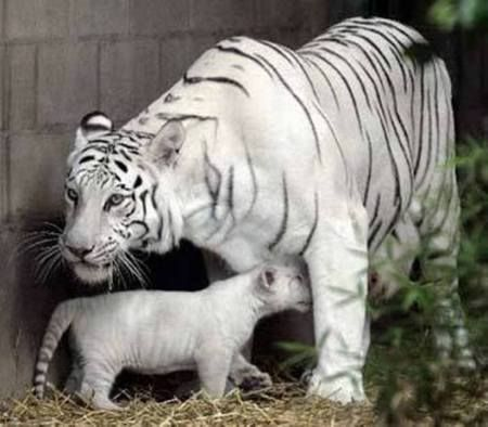 White Tigers Tiger Images Scary Animals Tiger Pictures