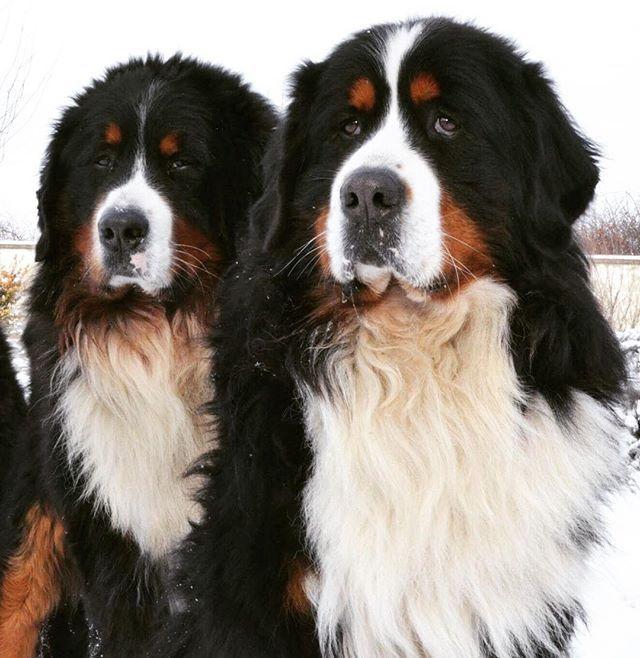My two handsome ❤️ #dog  #puppy #pup #bernesemountaindog #cute #eyes #instagood #dogs_of_instagram #pet #pets #animal #animals #petstagram #petsagram #dogsitting #photooftheday #dogsofinstagram #ilovemydog #instagramdogs #nature #dogstagram #dogoftheday #lovedogs #lovepuppies #hound #adorable #doglover #instapuppy #instadog