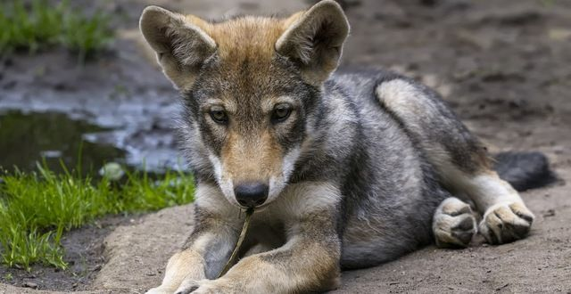 TakePart.com Sponsored ·  6/30/2014 - Did you know that more than 1,000 wolves have been needlessly killed by trappers since 2011? - Tell Governors to Ban the Trapping of Gray Wolves