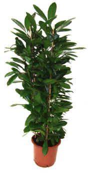 Cyathistipula Ficus Plant Sale Plants
