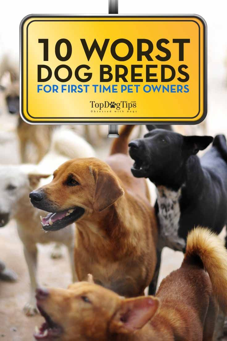 10 Worst Dog Breeds for First Time Owners Top dog breeds