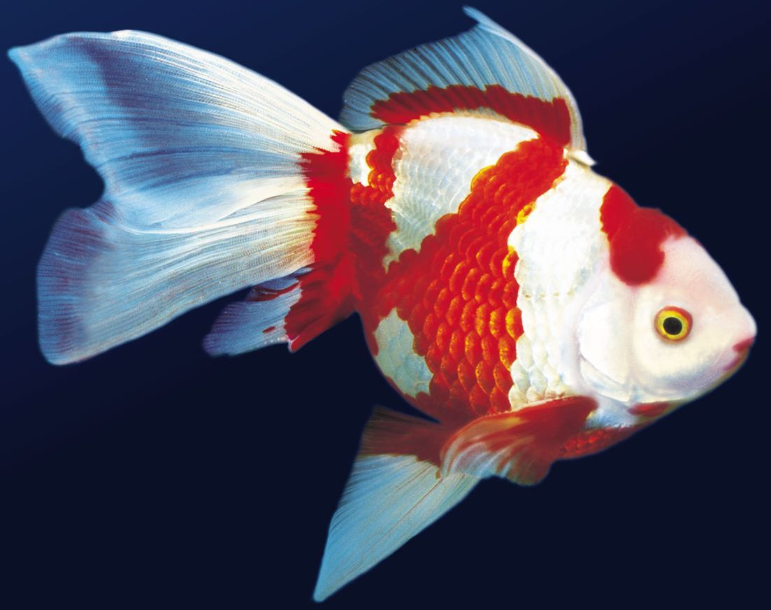 bailarina | Аквариумные рыбки | Pinterest | Goldfish, Fish and ...