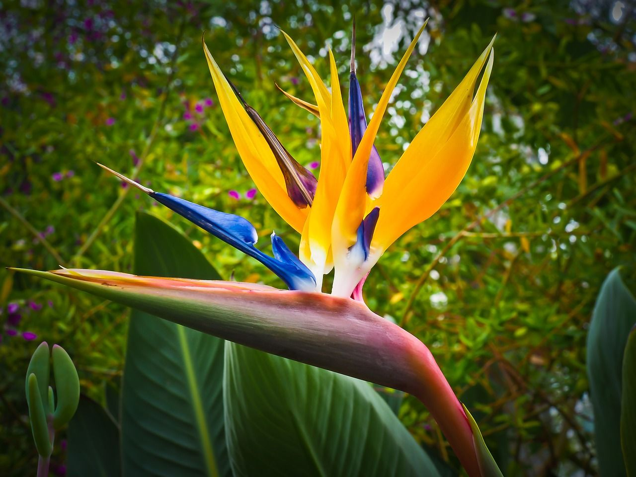 Free Image On Pixabay Bird Of Paradise Flower Caudata Water Wise Hawaii Flowers Garden
