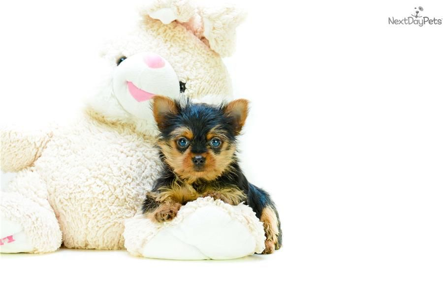Micro Teacup Steph Www Affordablepup Com Yorkshire Terrier