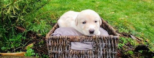 Litter Of 9 Great Pyrenees Labrador Retriever Mix Puppies For Sale In Oakland Or Adn 54698 On Puppyf Labrador Retriever Labrador Retriever Mix Great Pyrenees