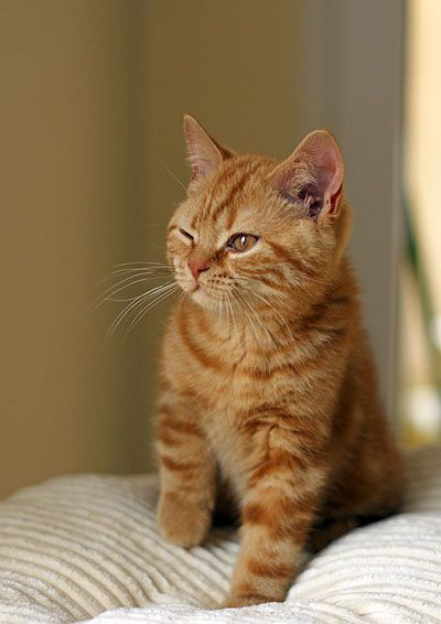 Dexter The Ginger Kitty Turns Man Into Cat Lover Cats Tabby Cat