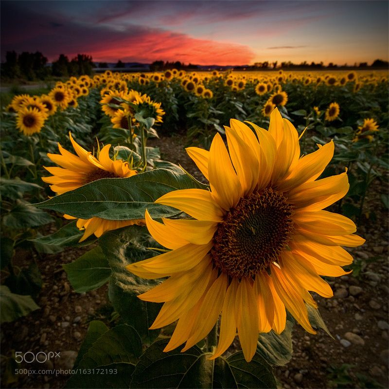 Sunflowers by vincentfavre. Please Like http://fb.me/go4photos and Follow @go4fotos Thank You. :-)