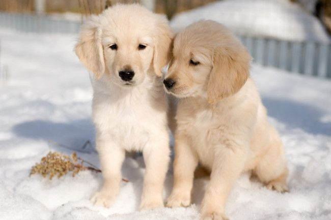 Golden Retriever Dog And Puppies 35 Pictures Dogs Golden