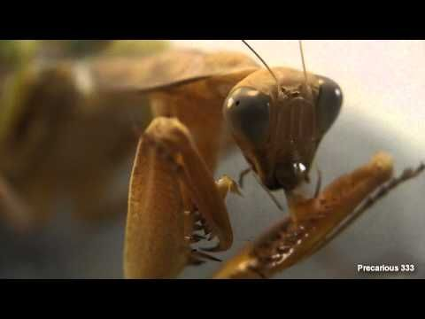 How to mate aggressive mantids...