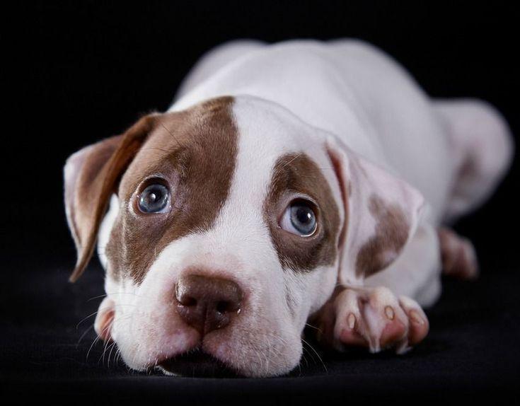 9 Secrets To Training A Pitbull Make Training A Pitbull Quick