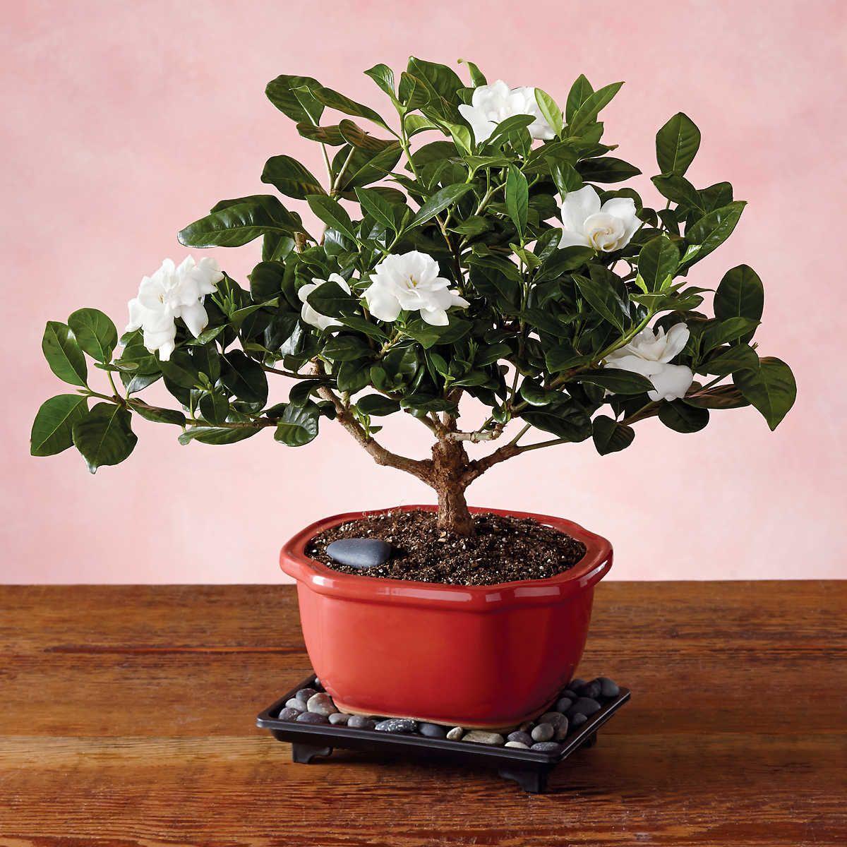 Gardenia Bonsai Tree Gift