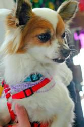 2565513d00000578 0 Teddy A 11 1423235712985 Chihuahua Puppies
