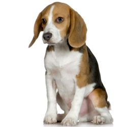 My Beagle Boxer Mix Cute Dogs Breeds Beagle Mix Beagle
