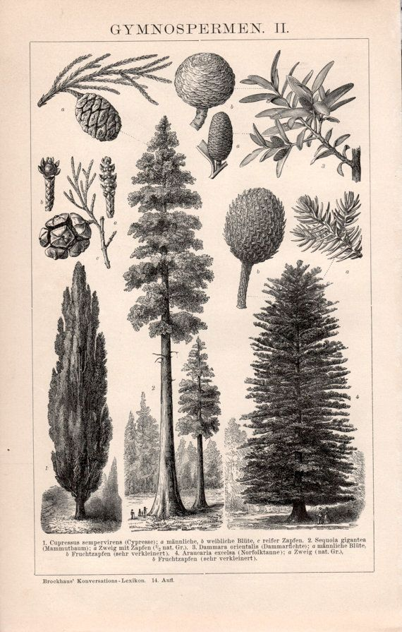 1898 Botanical Print Gymnosperms Pine Trees Conifers