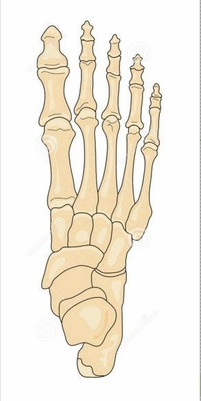 Unlabeled Foot Bone Anatomy Fa31 Kinesiology Health Pictures