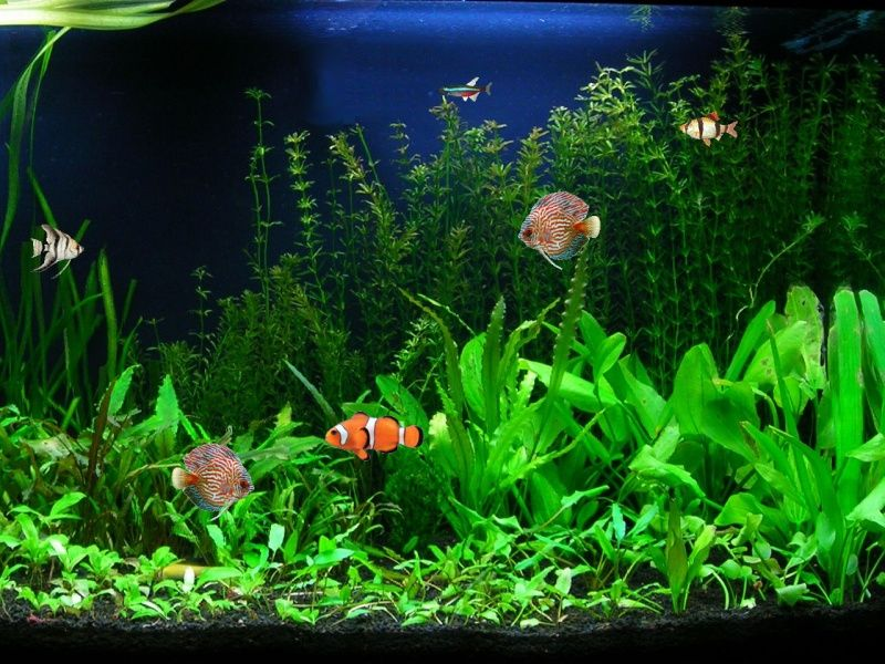 When deciding which fish species will live together in for Live fish aquarium wallpaper