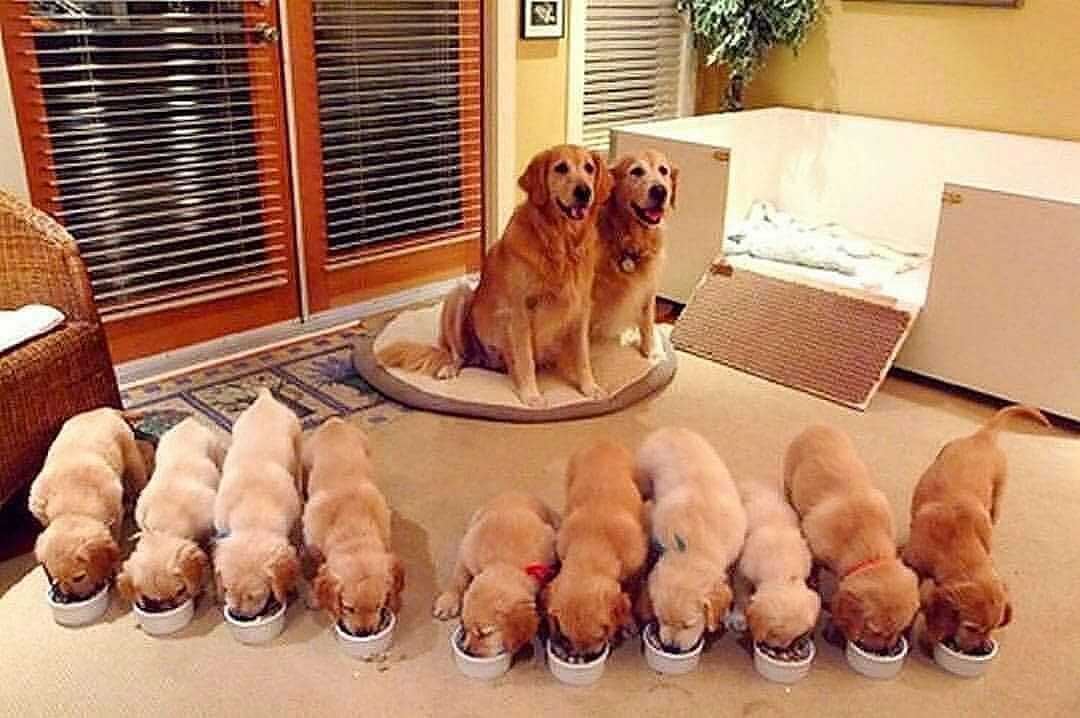 Pin By Nicole On Golden Retriever Puppies Cute Dogs Cute